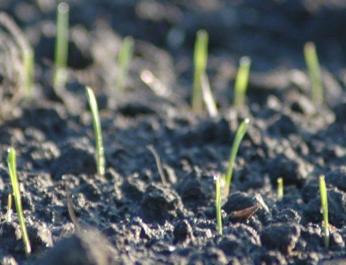 Vom Aufwachsen der Saat